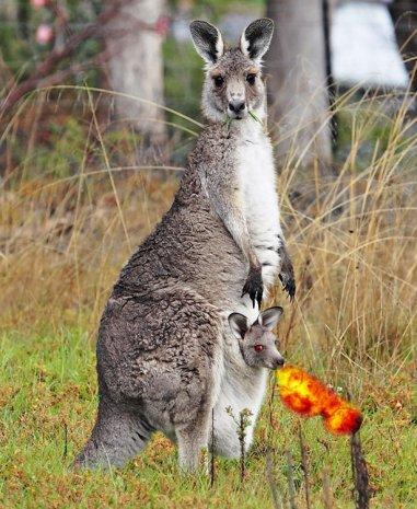 The Elusive Fire-Breathing Kangaroo